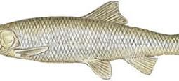 Northern Squawfish (Ptychocheilus oregonensis)