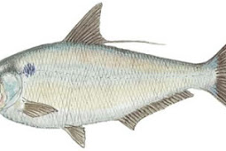 Gizzard Shad (Dorosoma cepedianum)