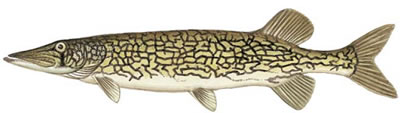 Chain Pickerel (Esox niger)