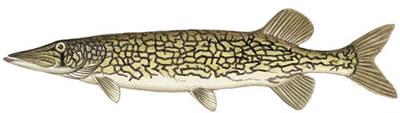 Chain Pickerel (Esox niger)