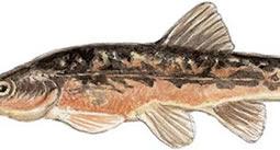 Blacknose Dace (Rhinichthys atratulus)