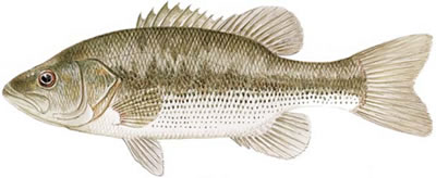 Spotted Bass (Micropterus punctulatus)