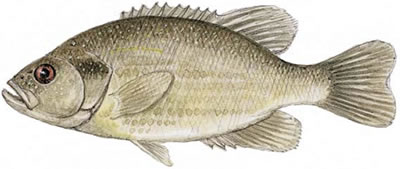 Roanoke Bass (Ambloplites cavifrons)