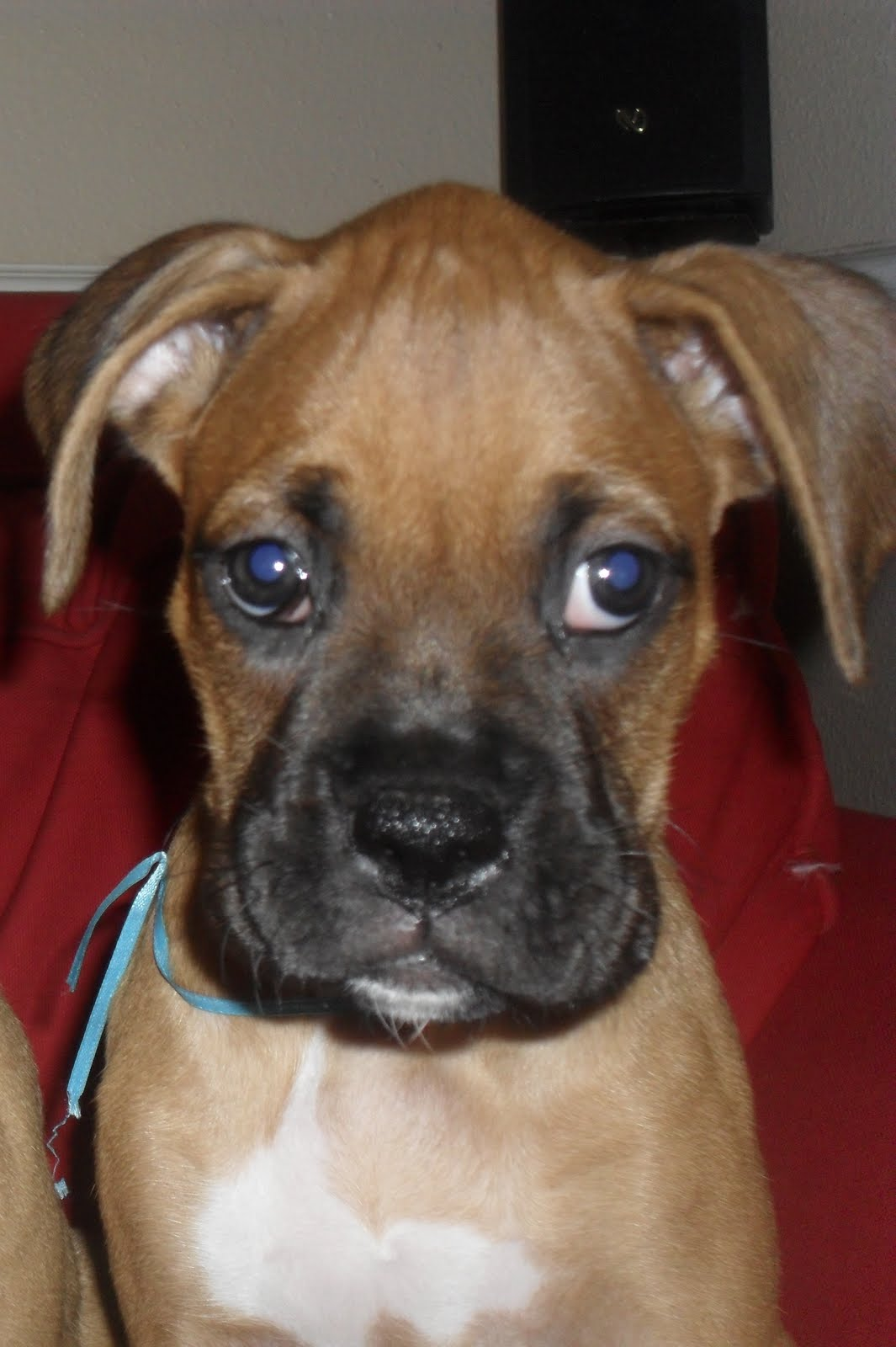 KennasDogs PURE BREED BOXER PUPPIES FOR SALE