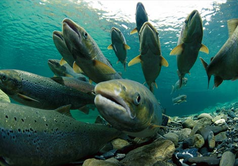 https://i0.wp.com/2.bp.blogspot.com/_siEMqPzFQAY/TCDoK7fwtCI/AAAAAAAABHQ/go1N3Me4Vys/s1600/salmon.jpg