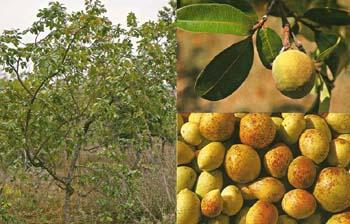Mangabeira e frutos