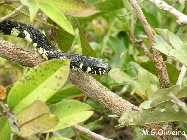 Caninana (Spilotes pullatus)