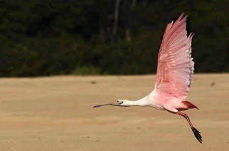 Colhereiro - Reserva Biológica do Guaporé