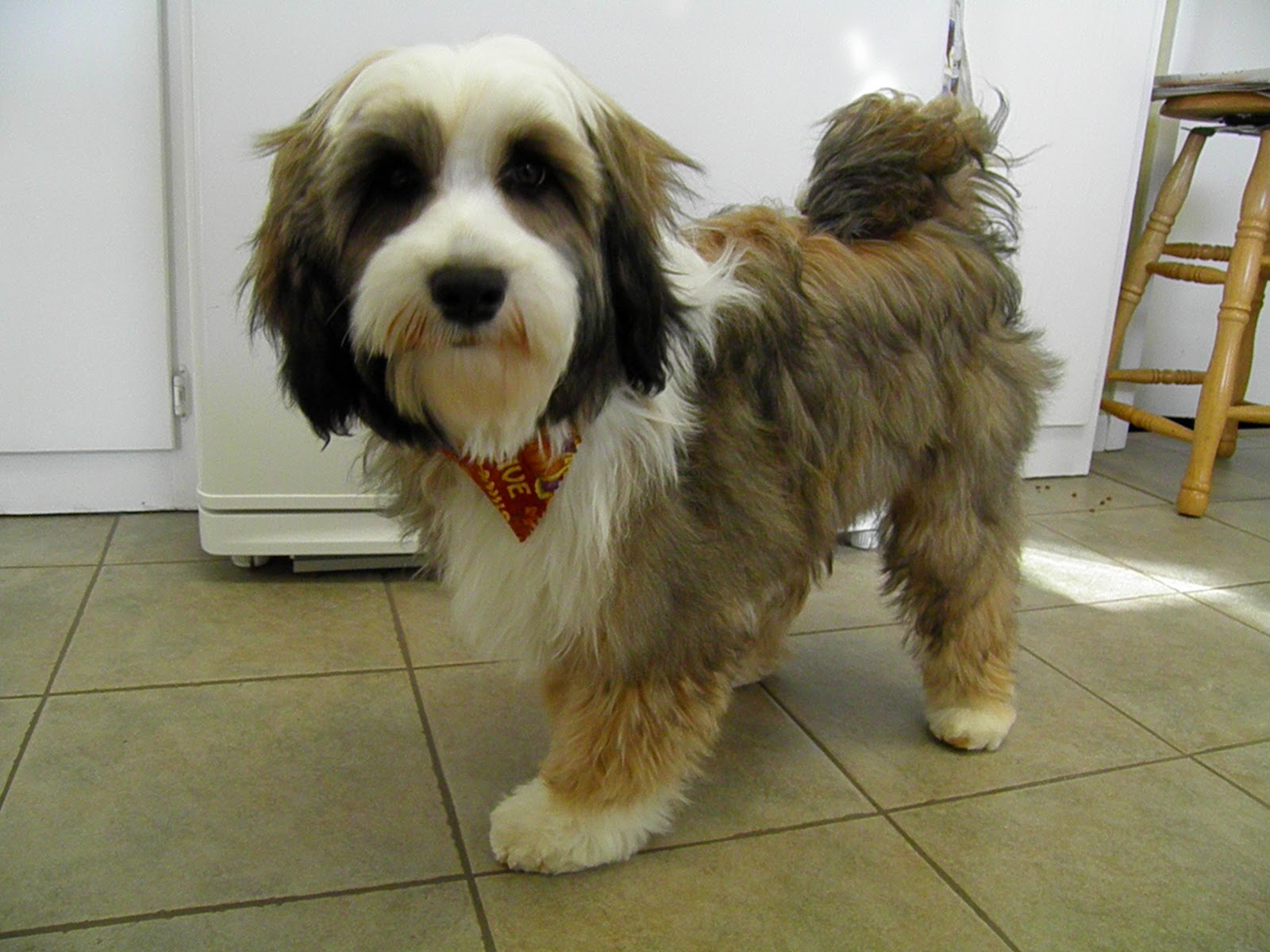 Tibetan Terrier Puppy Cut