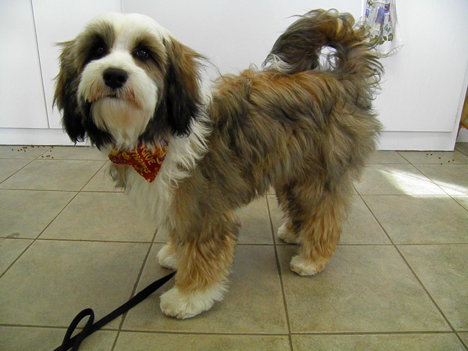 Tibetan Terrier Grooming Styles