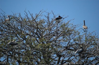 Costa Rica Wildlife - Pelicans Hangingout in the Rain Forest