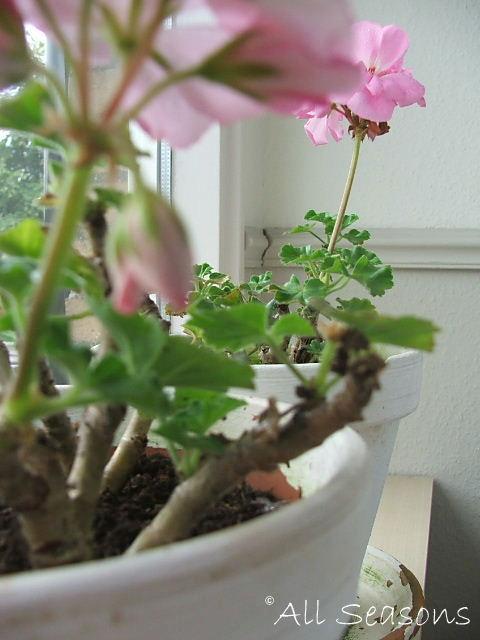 zitten achter de geraniums