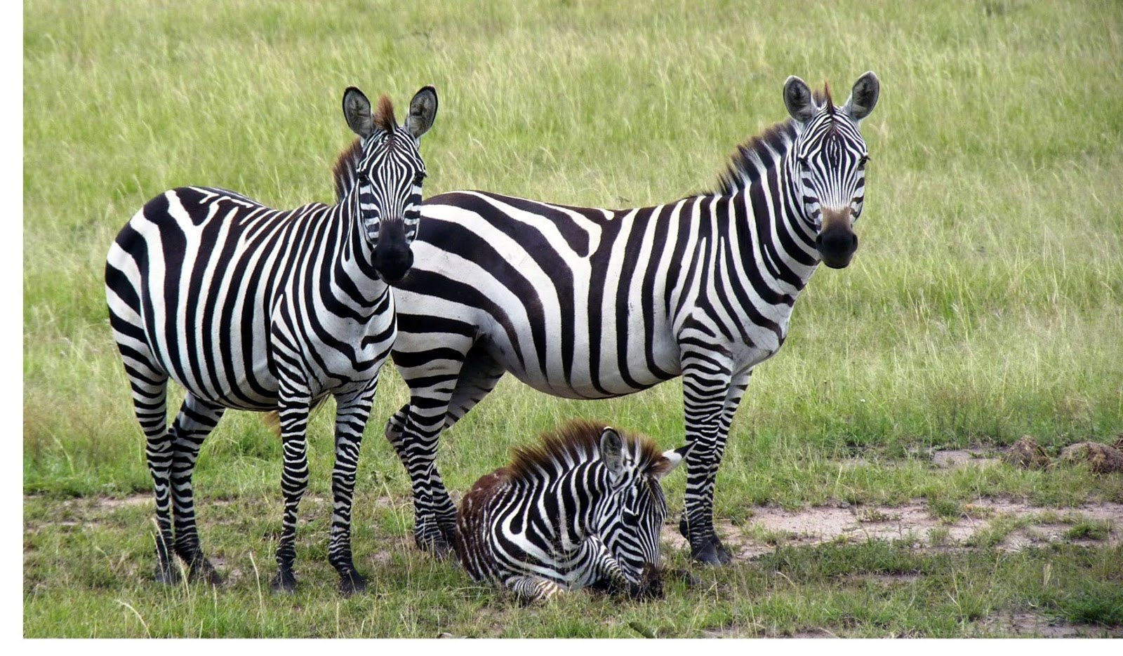 Zebra in Knya
