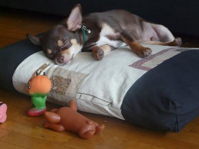 chihuahua mascotte du blog de Oli Dolly