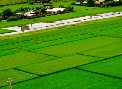 Beautiful ISAN (Rice Fields Version )