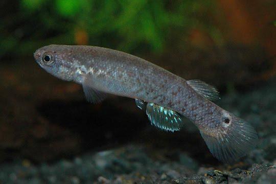 Ikan Tanpa Air Ikan ini Mampu Hidup Walau Tanpa Air Sekalipun
