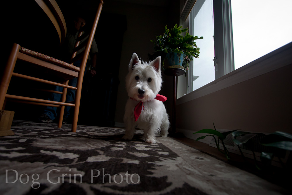 westmoreland terrier dog grin photography terrorless terriers 726