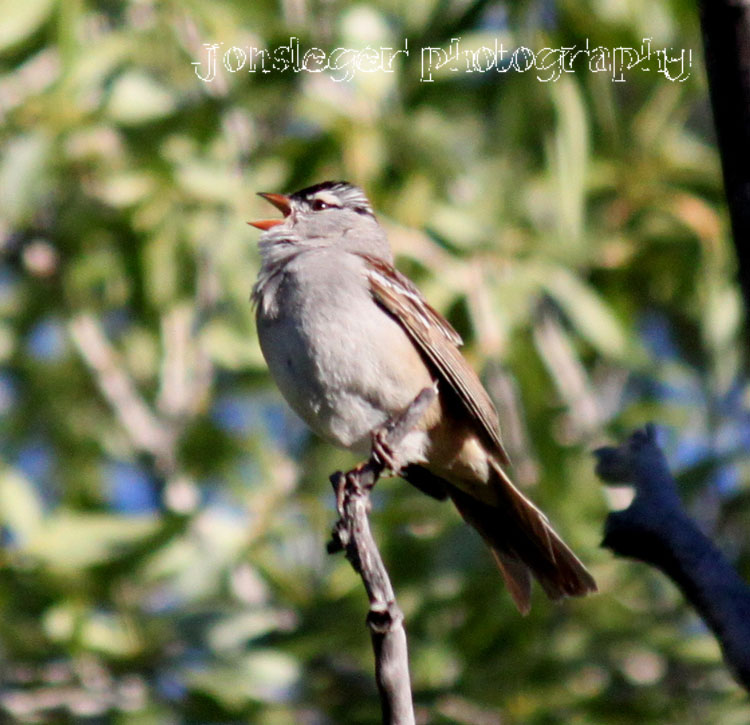 Northern Illinois Birder: White-crowned Sparrow (#9)