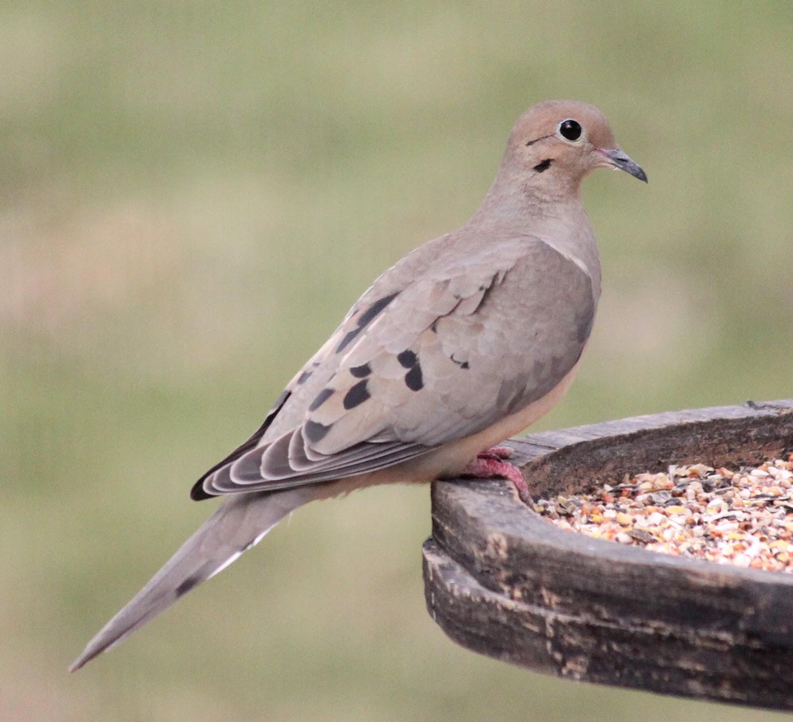 Northern Illinois Birder: Ruddy Ground Dove & Mourning Dove