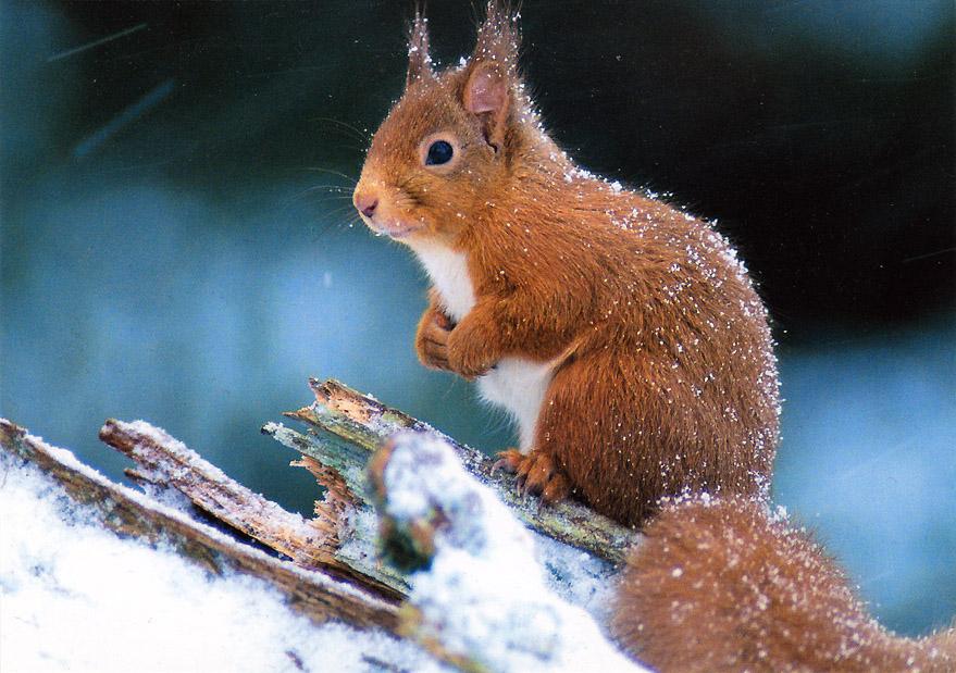 Thomas Willerich: Eichhörnchen im Schnee