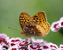 Great Spangled Fritillary Wings Together