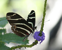Zebra Heliconian Wings Together