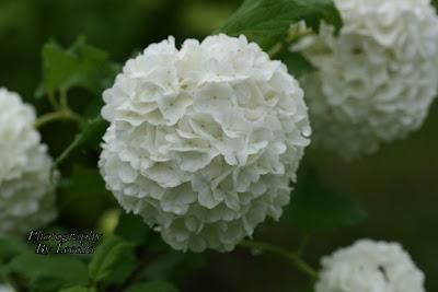 Leedra S Photos For Fun Old Fashioned Snowball Bush