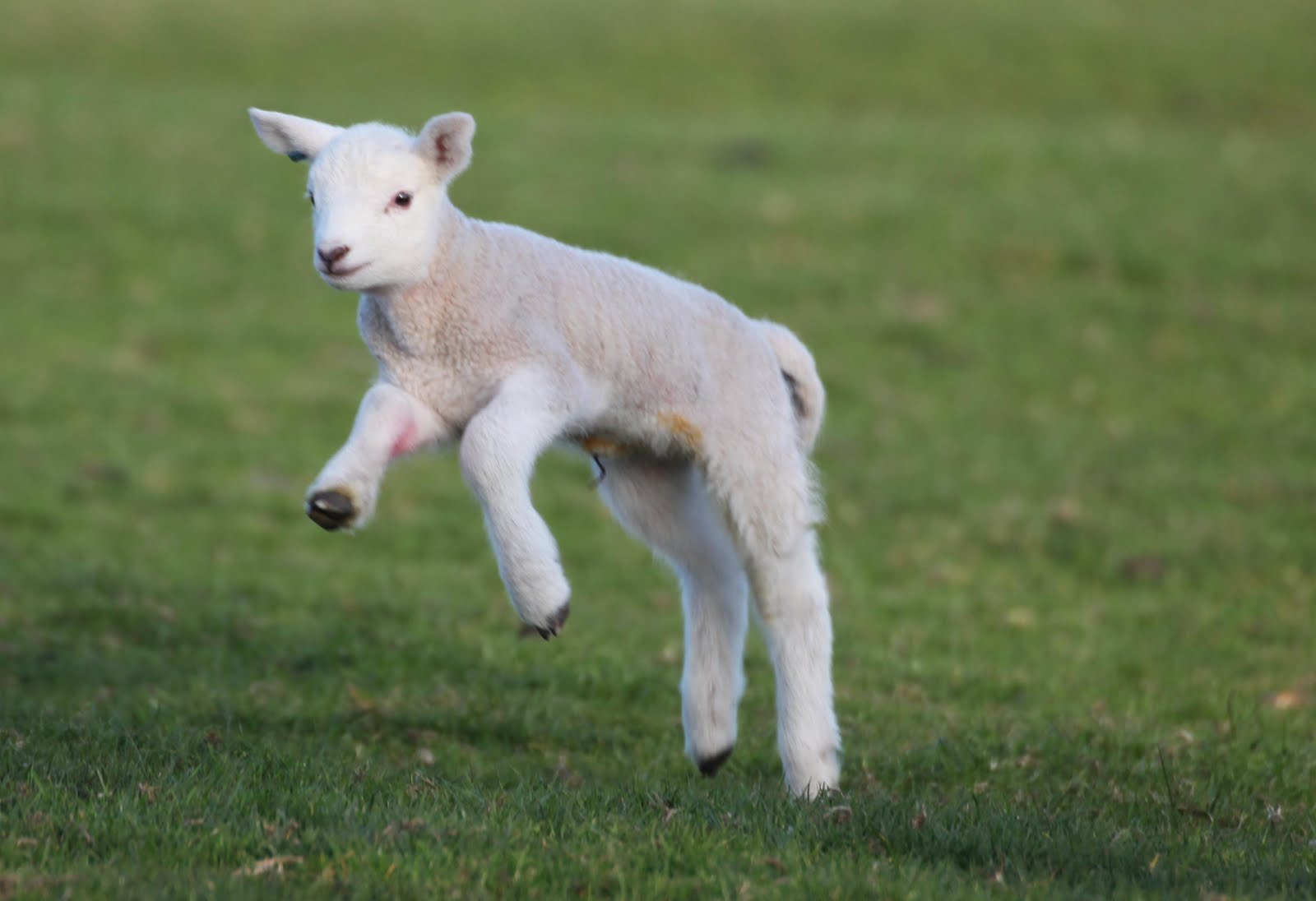 Caldertop Cottage Nature Diary: Spring Lambs 2010