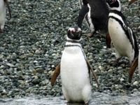Visit the penguins in Patagonia Chile with expedition charter yacht TRIBU - Contact ParadiseConnections.com