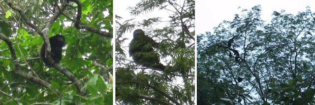 Affen im Dschungel von Costa Rica