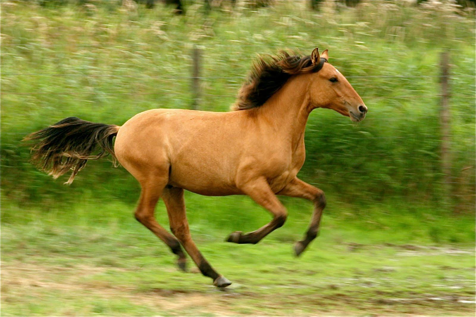 kiger mustangs horses mustang wild