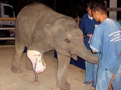 Wonderful Anorak | Motola The Elephant Gets An Extra False Leg DQ71