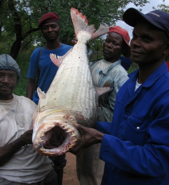 goliath tiger fish river monsters