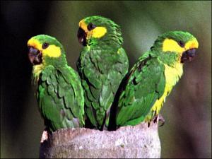 burung beo menyanyi