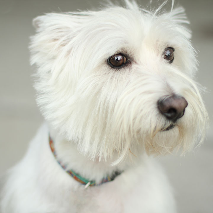 maltese haircuts styles pictures the gallery for gt west highland terrier haircut styles 1195