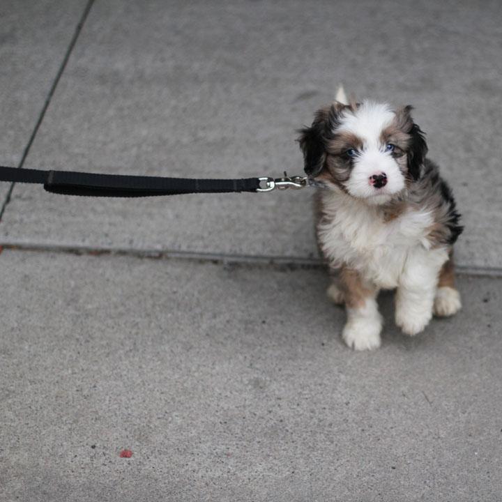 Unnamed - Australian Shepherd Poodle cross puppy