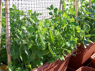 Cultivo de guisantes for Siembra de habas y guisantes