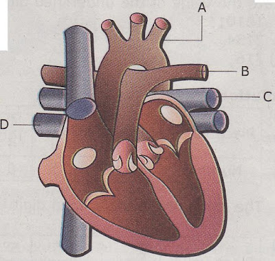 asovislan: human heart diagram without labels