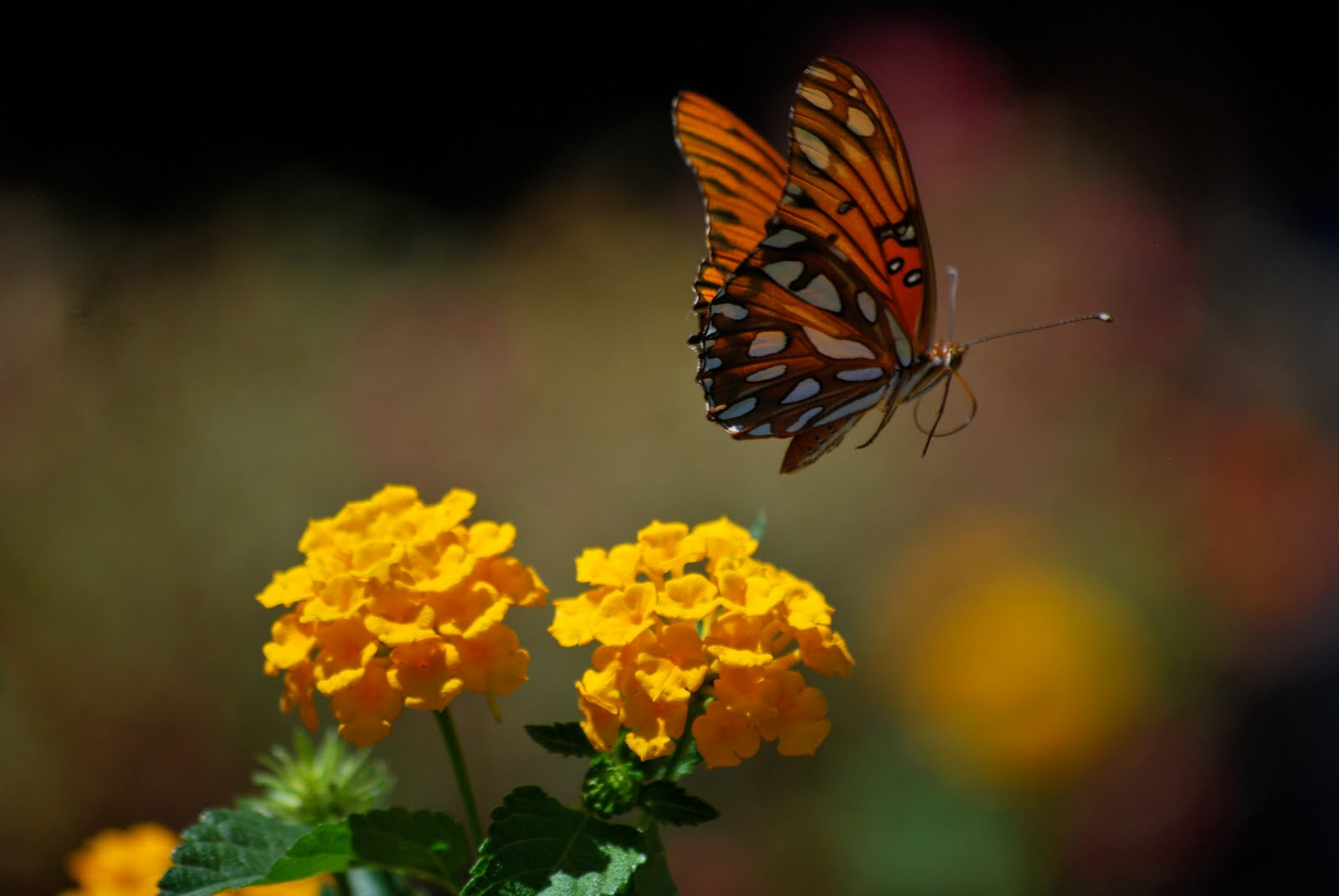 images of butterflies flying - photo #10