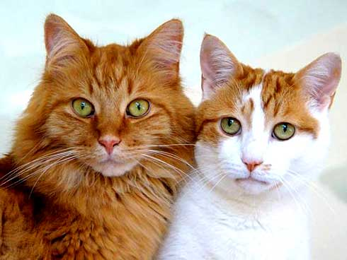 bayi kucing anggora Foto Kucing