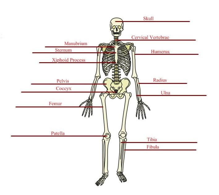 Anatomy/Physiology Assignments: Basic Skeletal Anatomy