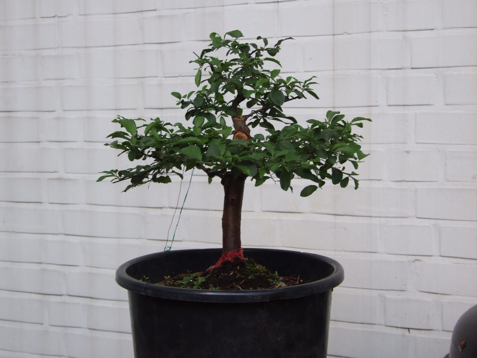 Bonsai Baum Klein Pflege Michaels Bonsai Blog Juni 2010