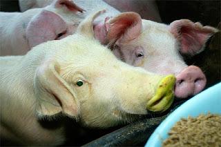cerdos transgenicos