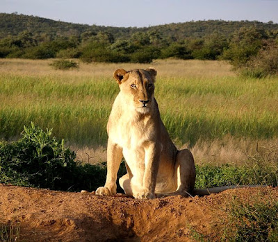 Lions are found in Uganda