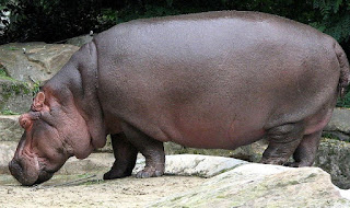 hippopotamus is found in Uganda