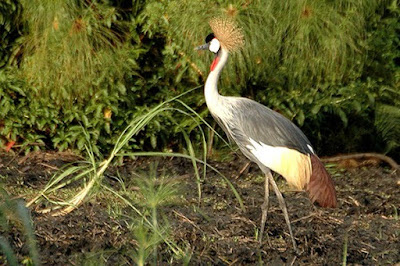Grey crowned crane, National bird of Uganda