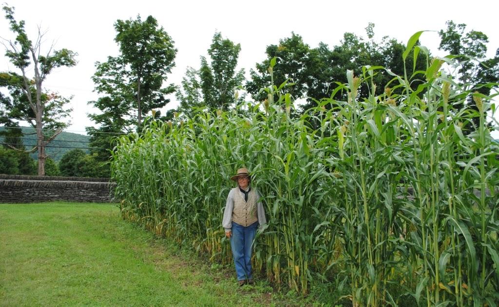 The Farmers' Museum: Broom Corn Harvest