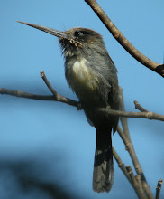 Three-toed Jacamar, Brazil Aug 2009