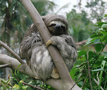 Brown-throated Three-toed Sloth, Brazil Sep 2008