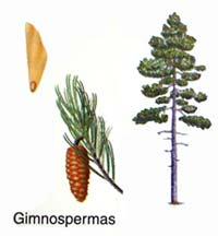 EJEMPLOS DE PLANTAS GIMNOSPERMAS EBOOK DOWNLOAD